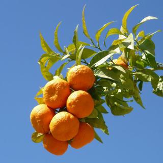 Citronnier bigarade ou Bigaradier