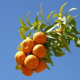 Citron bigarade ou Bigaradier