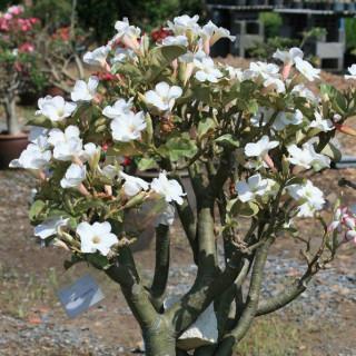 Rose du désert blanche - Adenium obesum blanc