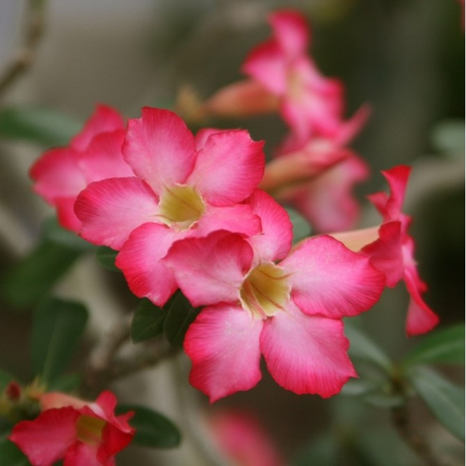 Rose du désert rose - Adenium obesum rose