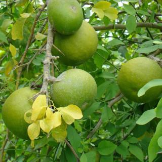Orange-miel