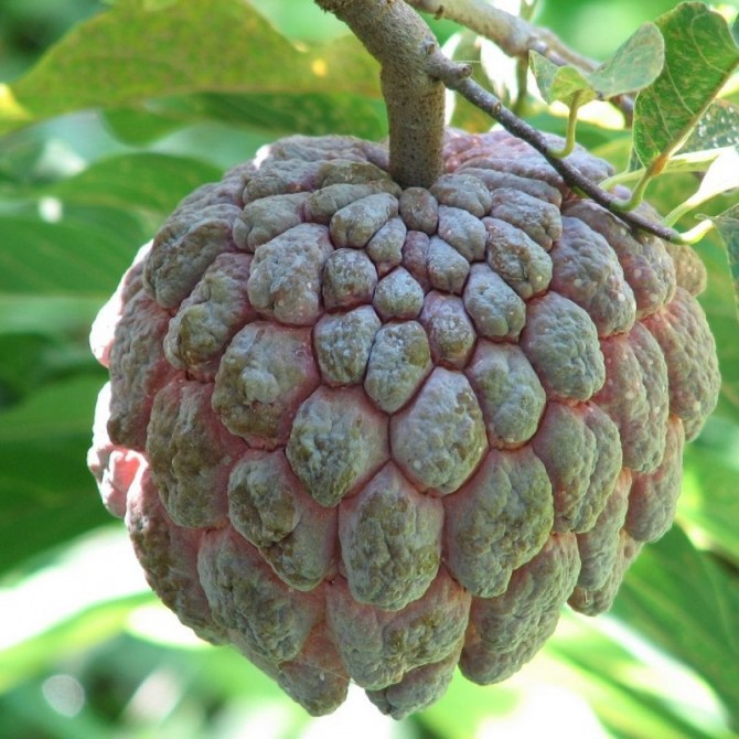 Pommier cannelle rose - Annona squamosa rose