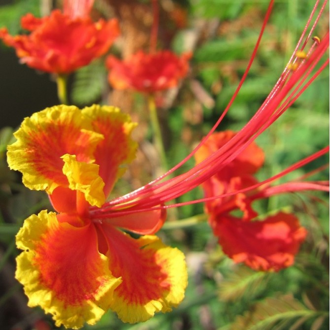 Flamboyant nain orange - Caesalpinia pulcherrima orange