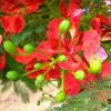 Flamboyant royal rouge - Delonix regia rouge