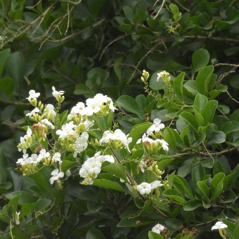 Vanillier de Cayenne blanc - Duranta lorentzii