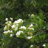 Vanillier de Cayenne blanc
