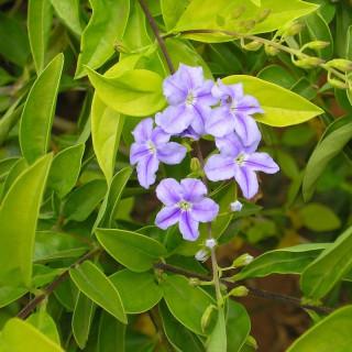 Vanillier de Cayenne mauve