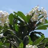 Frangipanier blanc