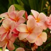 Frangipanier orange - Plumeria rubra orange