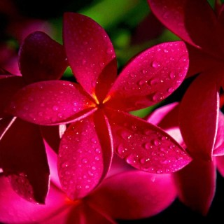 Frangipanier rouge - Plumeria rubra rouge