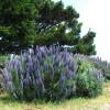 Vipérine de Madère - Echium fastuosum