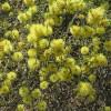 Myrthe de miel vert - Melaleuca diosmifolia