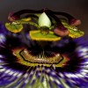 Passiflore bleue - Passiflora caerulea