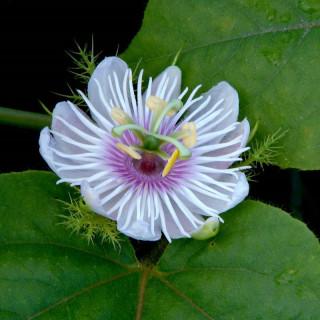 Passiflore Poc-Poc - Passiflora foetida