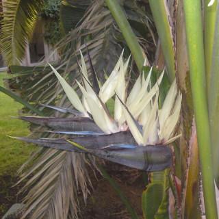 Oiseau du paradis blanc et pourpre