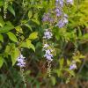 Vanillier de Cayenne mauve - Duranta repens 'Compacta'