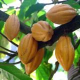 Cacaoyer à cabosses jaunes