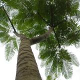 Fougère arborescente brésilienne