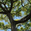 Fougère arborescente brésilienne - Schizolobium parahyba