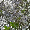 Arbre impérial - Paulownia tomentosa
