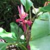 Bananier nain rose - Musa velutina