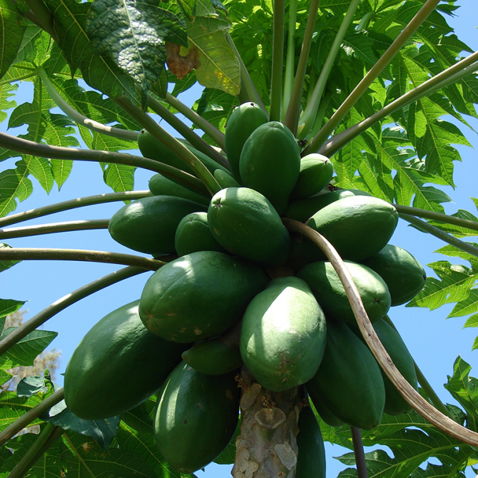 Papayer 'solo' - Carica papaya 'solo'