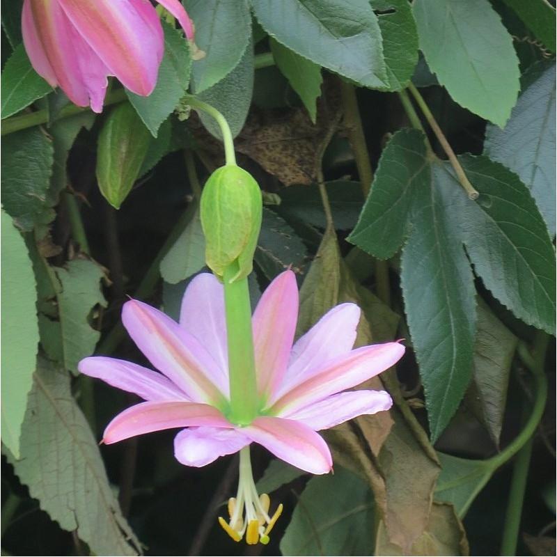Fruit de la passion banane - Passiflora mollissima