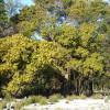 Figuier du Benghale - Ficus benghalensis