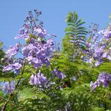 Flamboyant bleu