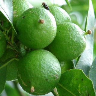 Citronnier Key lime - Citrus aurantifolia