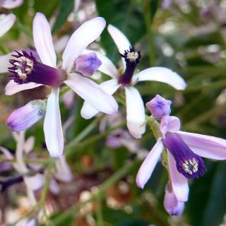 Lilas de Perse