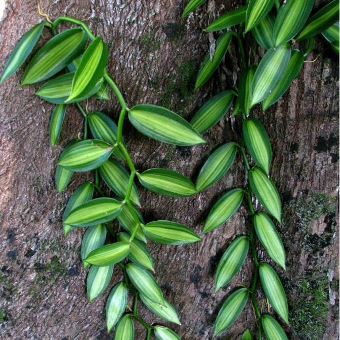 Vanillier - Vanilla fragrans 'variegata'