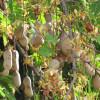 Tamarinier - Tamarindus indica