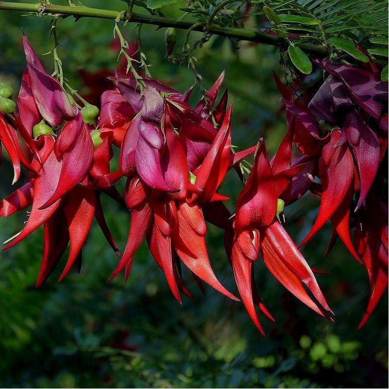 Bec de perroquet rose - Clianthus puniceus 'roseus'