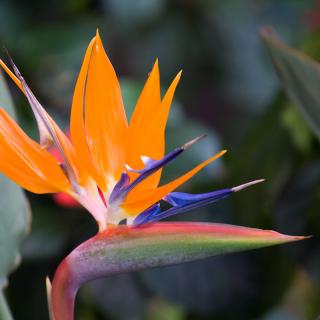 Oiseau du paradis orange et bleu