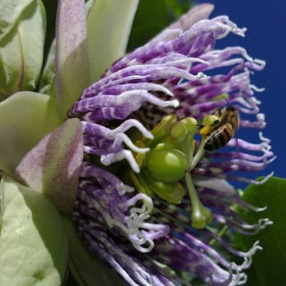 Grenadelle - Passiflora ligularis