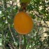 Grenadelle - Passiflora ligularis
