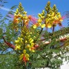 Flamboyant oiseau de paradis - Caesalpinia gilliesii
