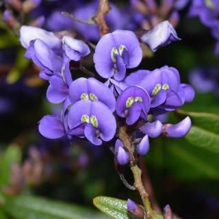 Salsepareille australienne - Hardenbergia comptoniana