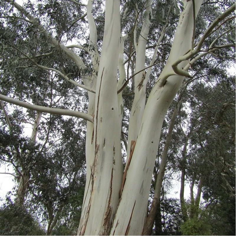 Gommier blanc des montagnes - Eucalyptus dalrympleana