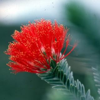 Arbre de Noël du Gondwana