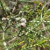 Regelia velutina - Arbre de Noël du Gondwana