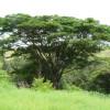 Arbre à pluie - Samanea saman