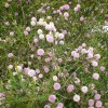 Myrthe de miel rose - Melaleuca nesophila