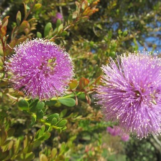 Myrthe de miel rose