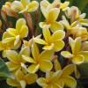 Frangipanier jaune - Plumeria rubra jaune