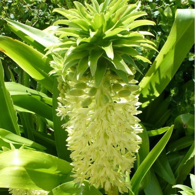 Fleur ananas - Eucomis autumnalis