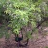 Sophora du père David - Sophora davidii