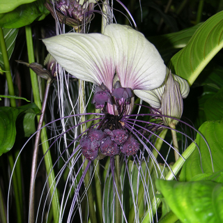 Plante chauve-souris blanche