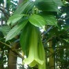 Campanule dominicaine - Cubanola domingensis